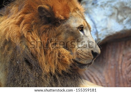 Lion head - stock photo