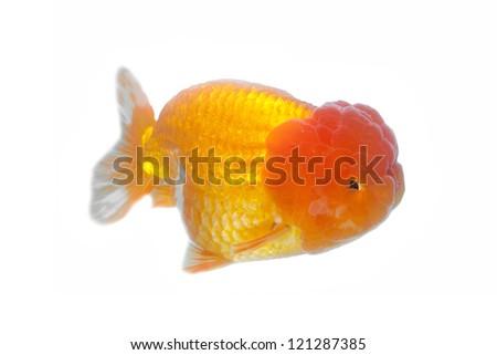 Lion Head Goldfish isolated on white - stock photo