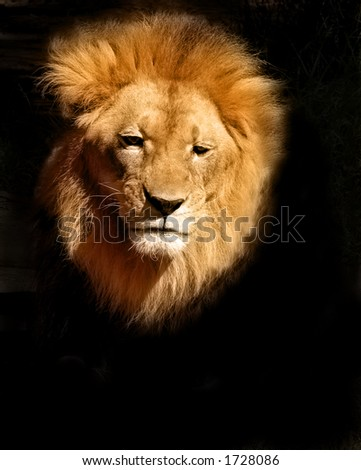 Lion Head on Black Background - stock photo