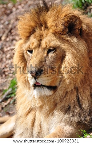 lion head, Panthera leo - stock photo