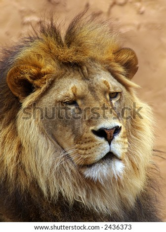 Lion head shot.