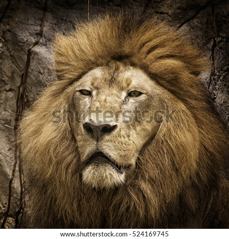 Lion head shot