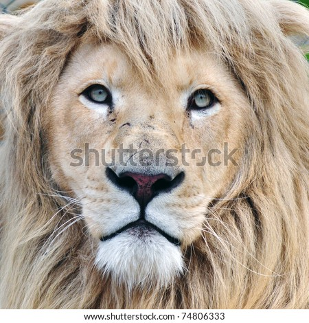 Lion head. This animal is considered to be the king of animals and white albino lion is endangered species. - stock photo