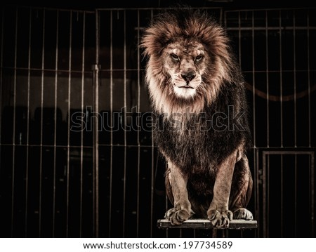 Lion in a circus cage - stock photo