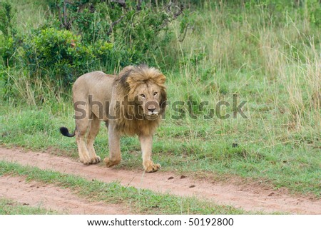 Lion in Africa - stock photo