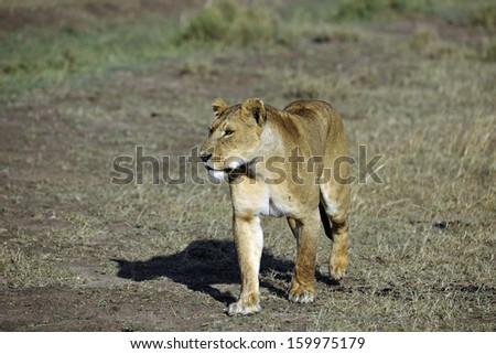 lion in africa s wilderness - stock photo