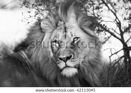 Lion in black and white - stock photo