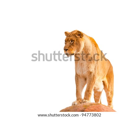 Lion in Captivity  Felidae Panthera leo - stock photo