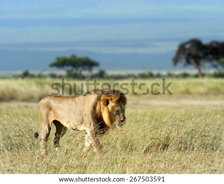 Lion in grass. National park of Africa, Kenya - stock photo