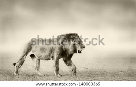 Lion in Masai Mara - stock photo