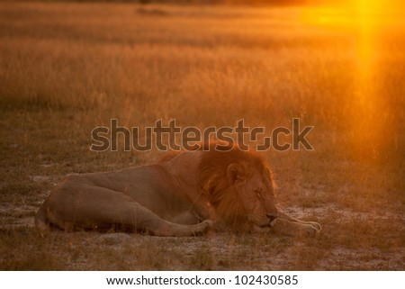 Lion in resting - stock photo