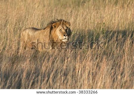 Lion in savannah (Panthera leo) - stock photo