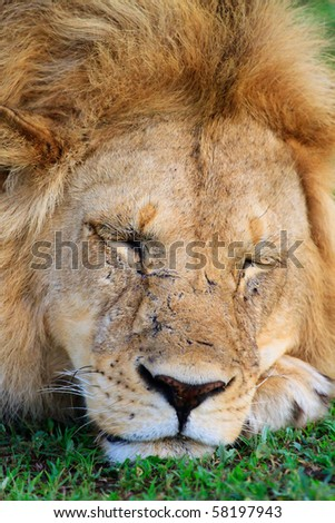 Lion in Serengeti national park, Tanzania