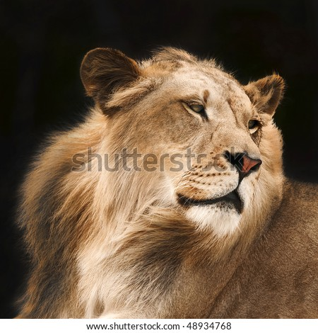 Lion in Shadows - stock photo