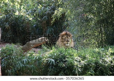 Lion in Surrounded by Green/The King at Peace