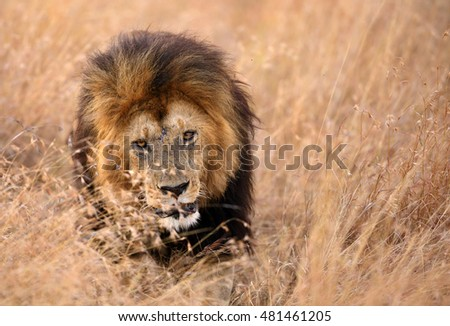 lion in the grasses