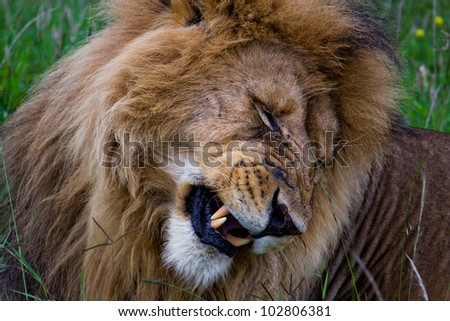 Lion in the Kenya - stock photo