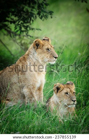 Lion in the National Reserve of Africa, Kenya - stock photo