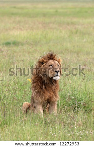 lion in the Ngorongoro crater national park Tanzania - stock photo