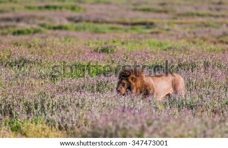 Lion in the Ngorongoro Crater, Tanzania - stock photo