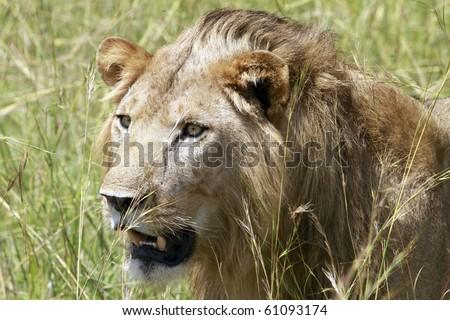 lion in the wild, Uganda - stock photo