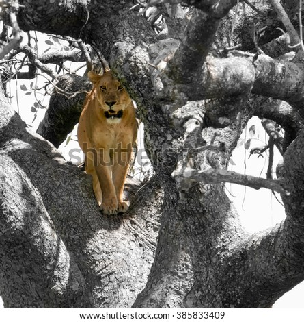 Lion in tree - stock photo