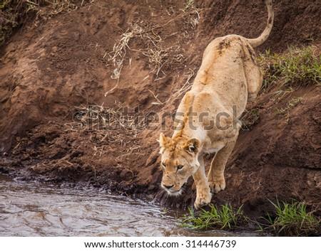 Lion in wildlife Tanzania Kenya - stock photo
