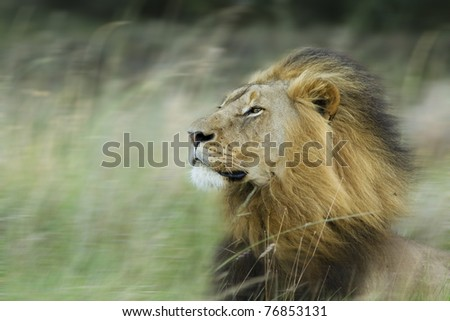 Lion in wind - stock photo