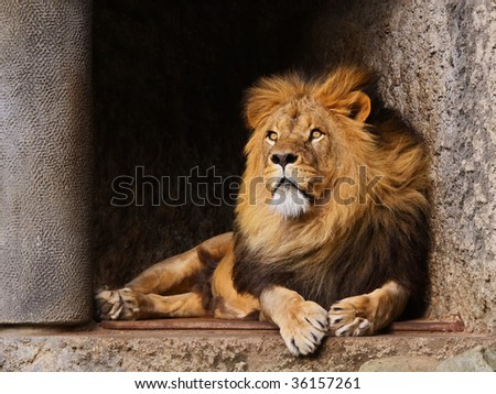 lion in zoo - stock photo