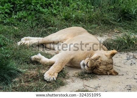 Lion is sleeping. - stock photo