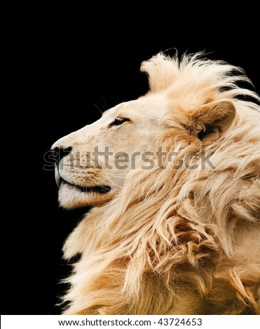 Lion isolated - stock photo