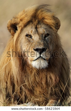 Lion king of the Serengeti, Tanzania - stock photo