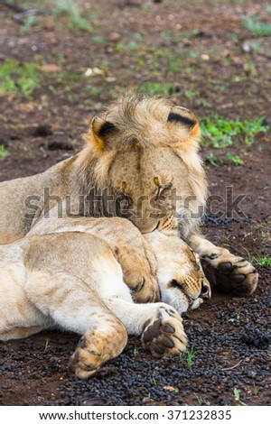 Lion kisses his wife lioness on the ground in Zimbabwe, Africa