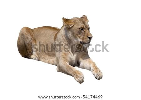 lion lady isolated - stock photo