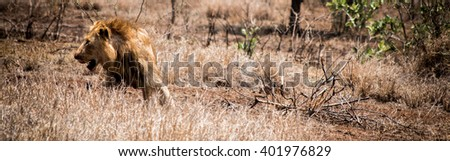 Lion laying in the grass in the Kruger National Park, South Africa. - stock photo