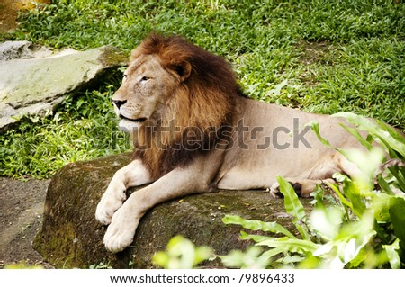 lion lie on the stone - stock photo