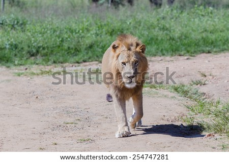 Lion Lion wildlife cat in park reserve - stock photo