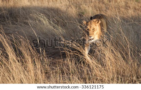 Lion, lioness prowling in the early morning shadows of the golden African savanna - stock photo
