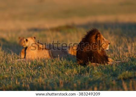 Lion Lipstick with females at sunrise in Masai Mara, Kenya - stock photo
