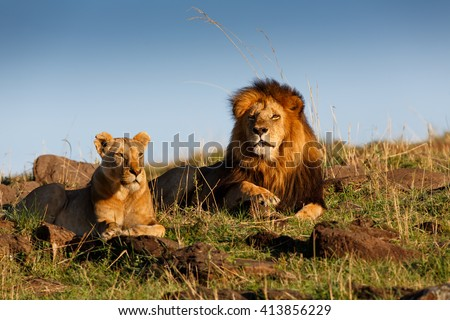 Lion Lipstick with his favorite Lioness in Masai Mara, Kenya - stock photo