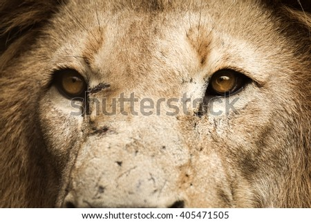 Lion looking away - stock photo