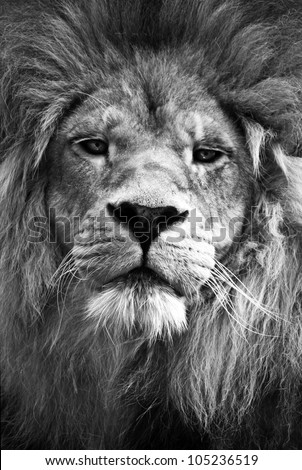 Lion looking directly at camera in black and white