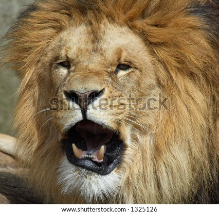 Lion looking funny