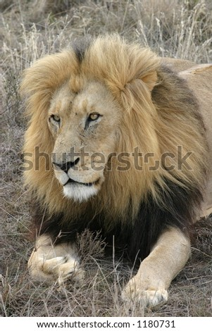 Lion Looking Left
