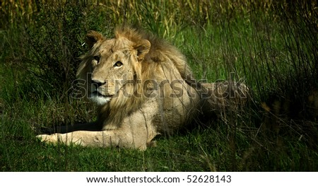 Lion lying down looking at you - stock photo