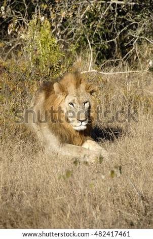 Lion lying in grass, Phinda Private Game Reserve, South Africa
