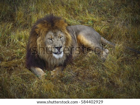 Lion lying in the grass in safari park relaxing