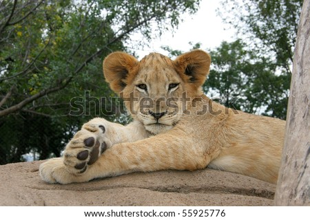 Lion lying in the sun after a meal - stock photo
