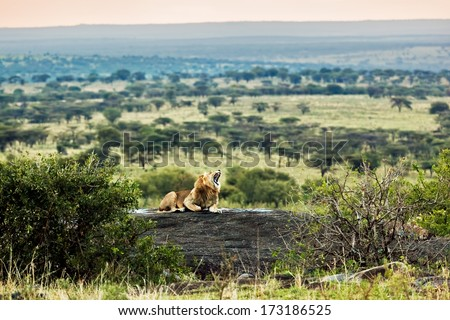 Lion lying on rocks and roars on savanna at sunset. Safari in Serengeti, Tanzania, Africa - stock photo