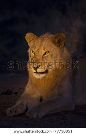 Lion male at night. Photo taken with spotlight - stock photo